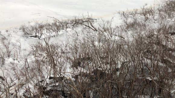 Ice at the edge of a pond. The ice is cracked into multiple layers, with twigs from bushes with no leaves cracking out of the ice.